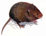 Земляная крыса, способы борьбы