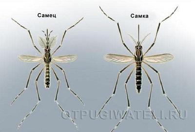 как выглядит самец комара фото