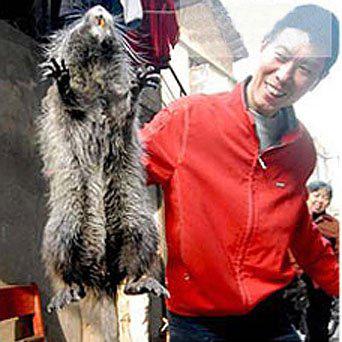 Самая большая крыса Китая