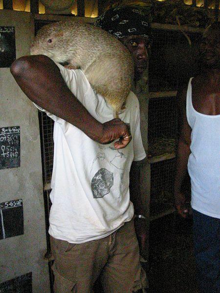 Самая большая тростниковая крыса